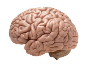Brain-wrinkles-makes-human-smart